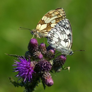 11 Mating Marbled Whites
