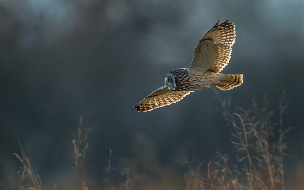 Short-eared Owl Hunting by John Wichall